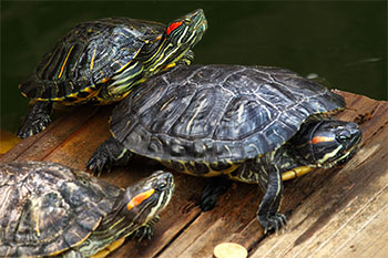 巴西龟能不能吃