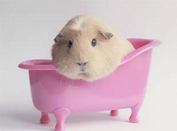 荷兰猪怎么养?