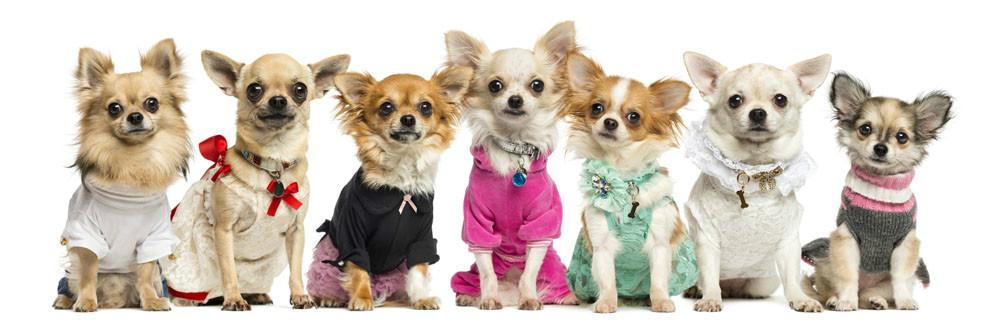 狗狗冬天要不要穿衣服