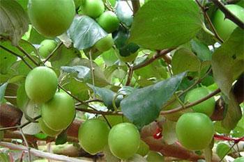 毛叶枣施用有机肥种植技术